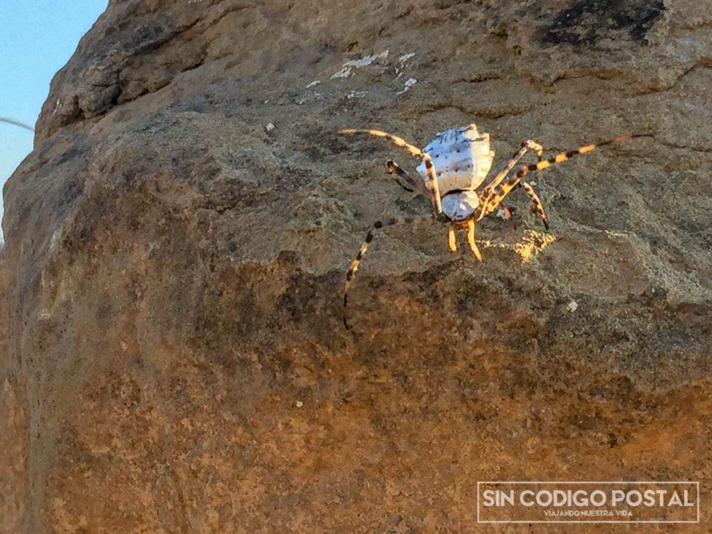 Araña cangrejo que vimos en los Monegros