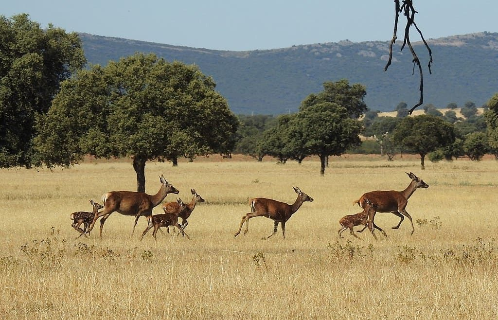 Ciervos en el Parque Nacional. Fuente: Wikipedia
