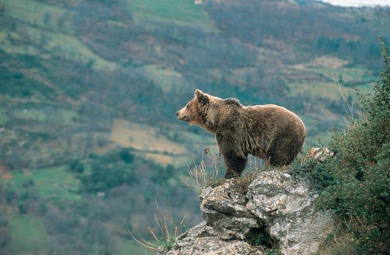 Un oso en Somiedo