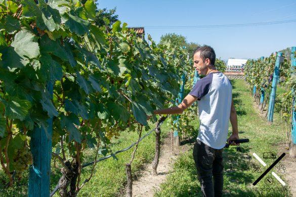 Probando uvas en bodega Shumi Winery Kakheti