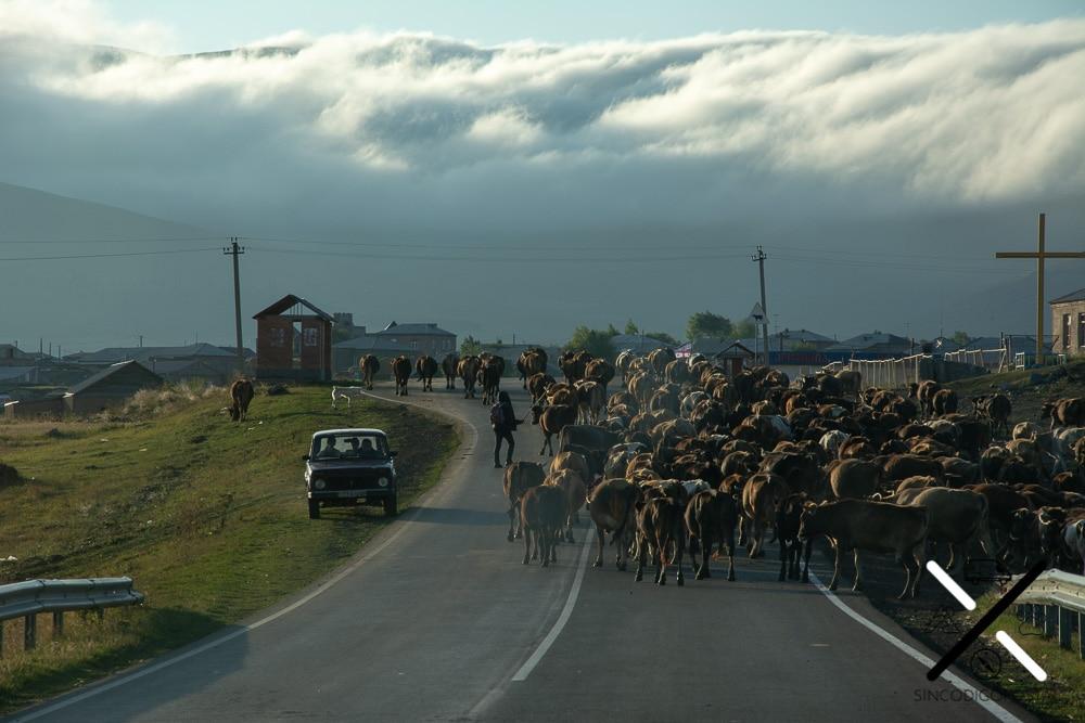 Rebaño de vacas en Georgia