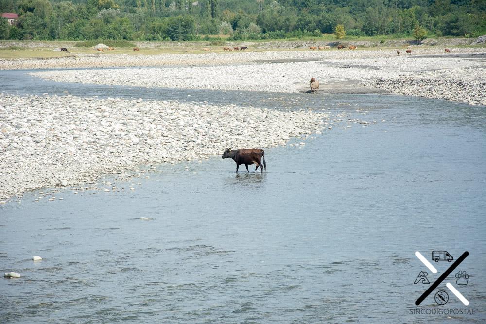 Vacas disfrutando del río en Georgia