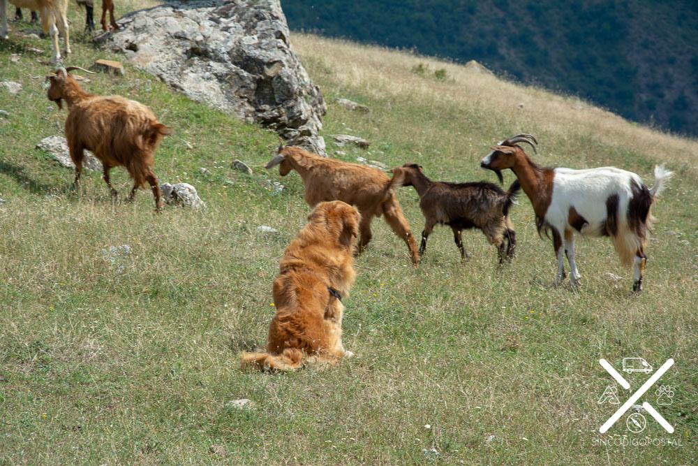 Contemplando cabras, y descubriendo si eran amigables en Lukomir, Bosnia